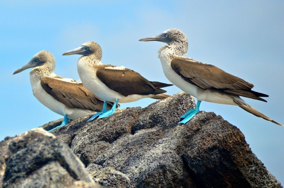 blue-footed-booby-galapagos-7